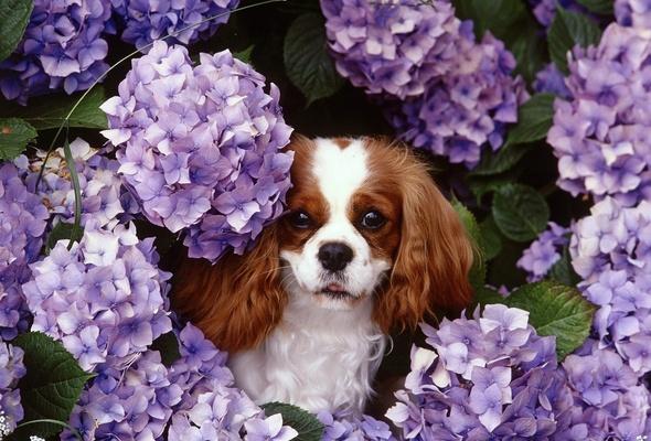 Wallpaper flower spring Syringa lilac dog desktop wallpaper 590x400