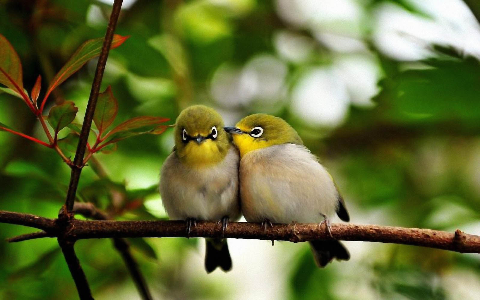wallpapers Love Birds Desktop Wallpapers 1600x1000