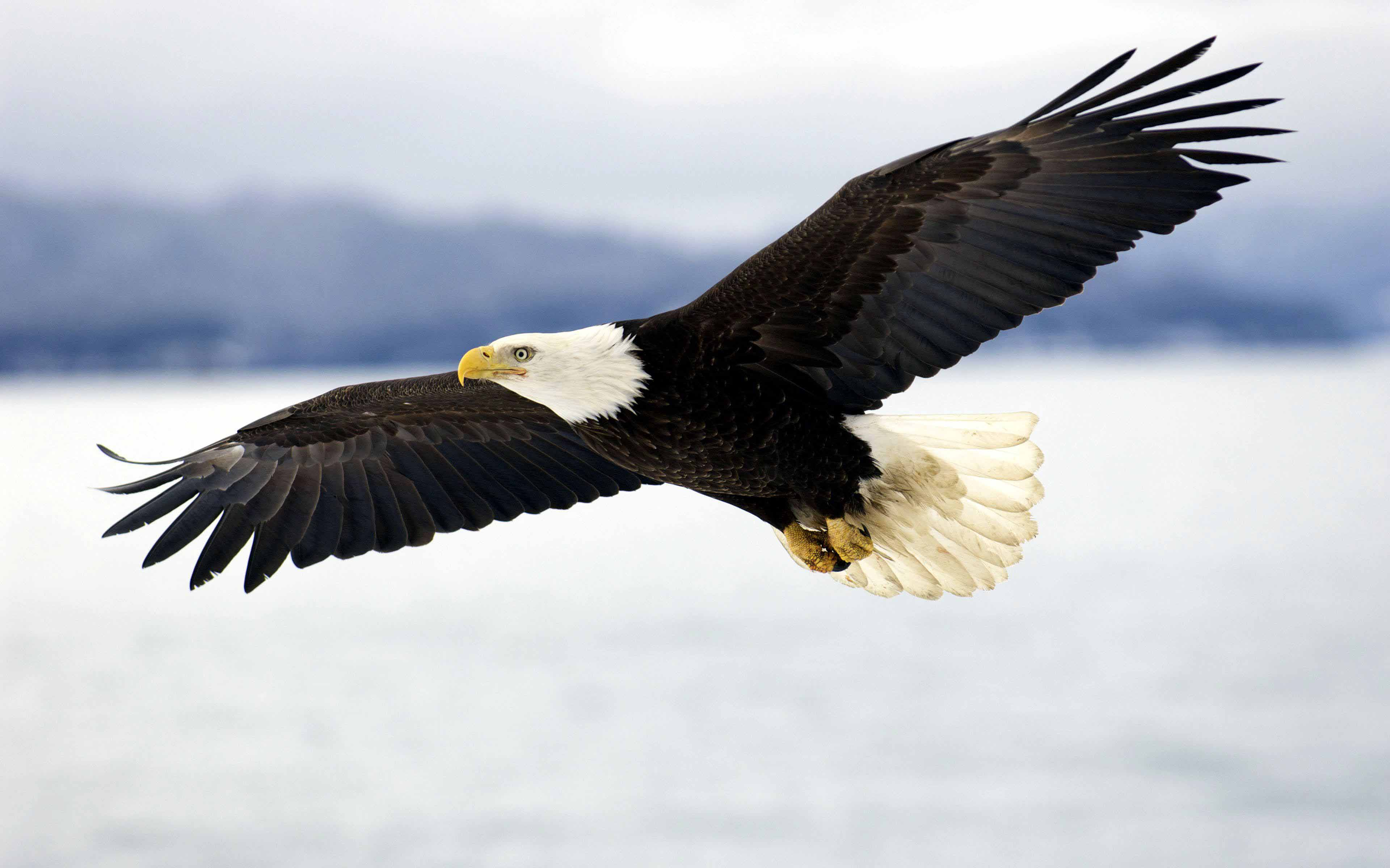 American Eagle Flying HD Wallpaper Background Images 3840x2400