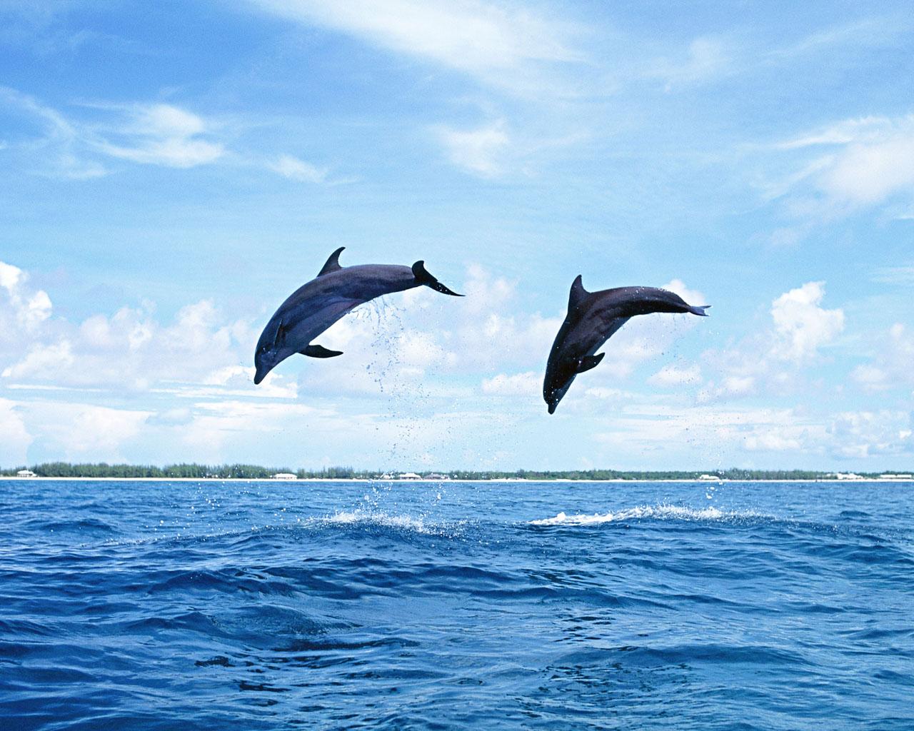 The best top desktop dolphin wallpapers hd dolphins wallpaper 17jpg 1280x1024