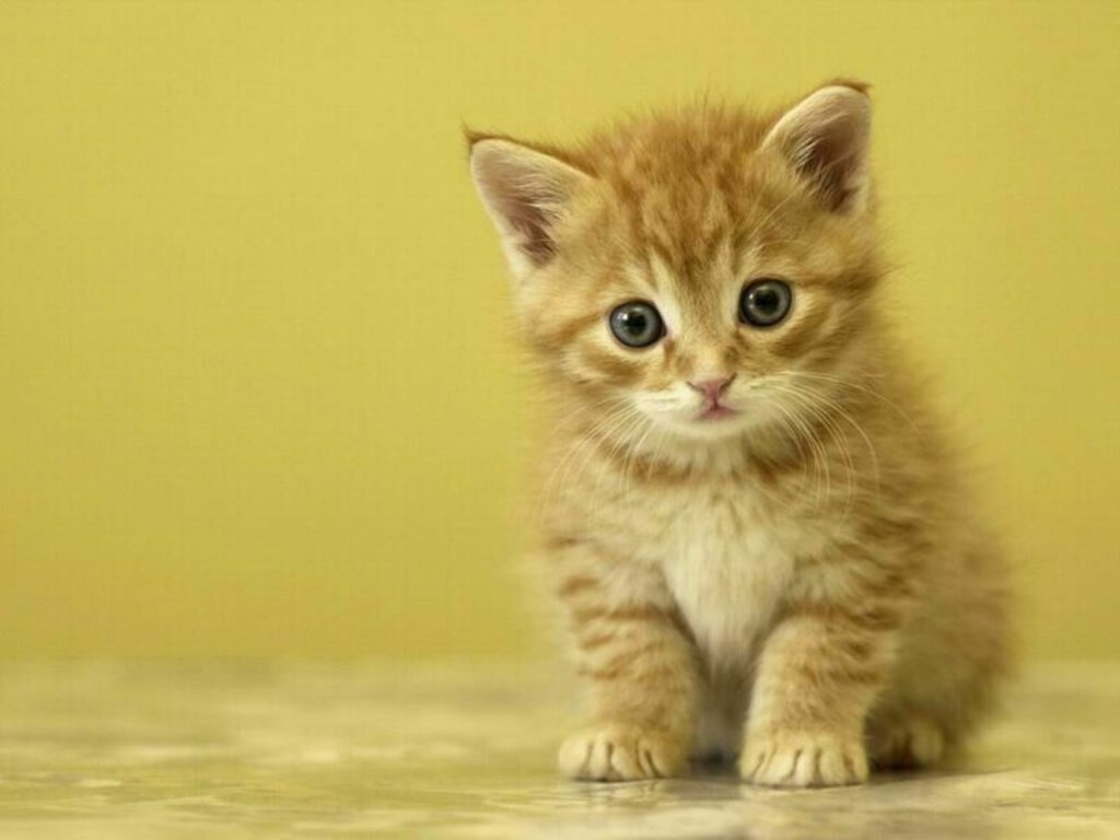 Cute Kitten Wallpaper Desktop Backgrounds Image Description 1024x768