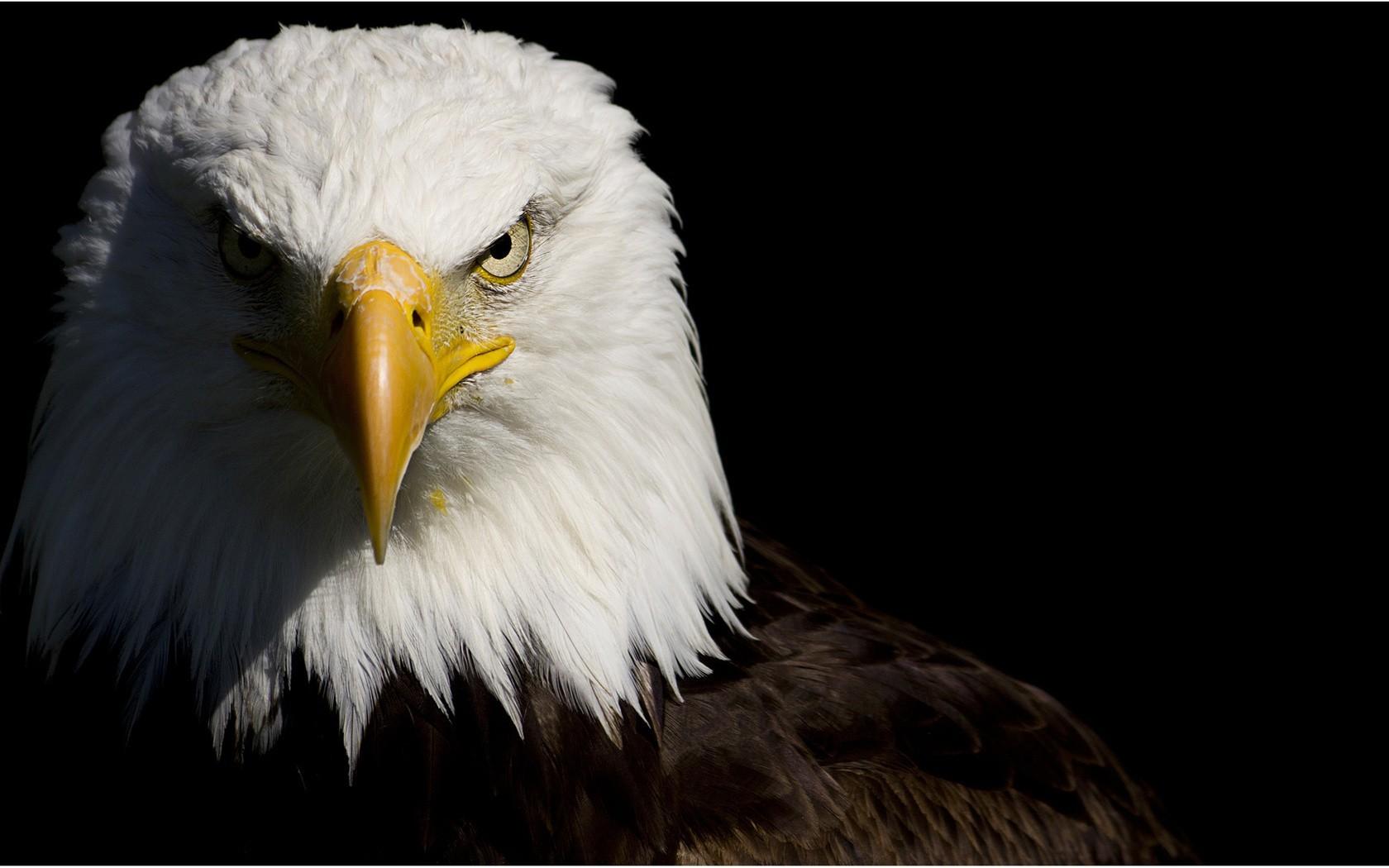 Eagles Bald Wallpaper 1680x1050 Eagles Bald Eagles 1680x1050