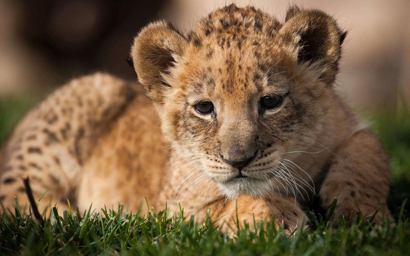 Lion cub Widescreen Wallpaper   10069 1680x1050