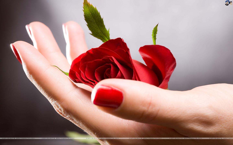 redroses redflowers redroseswallpapers wallpapersfordesktop 1440x900