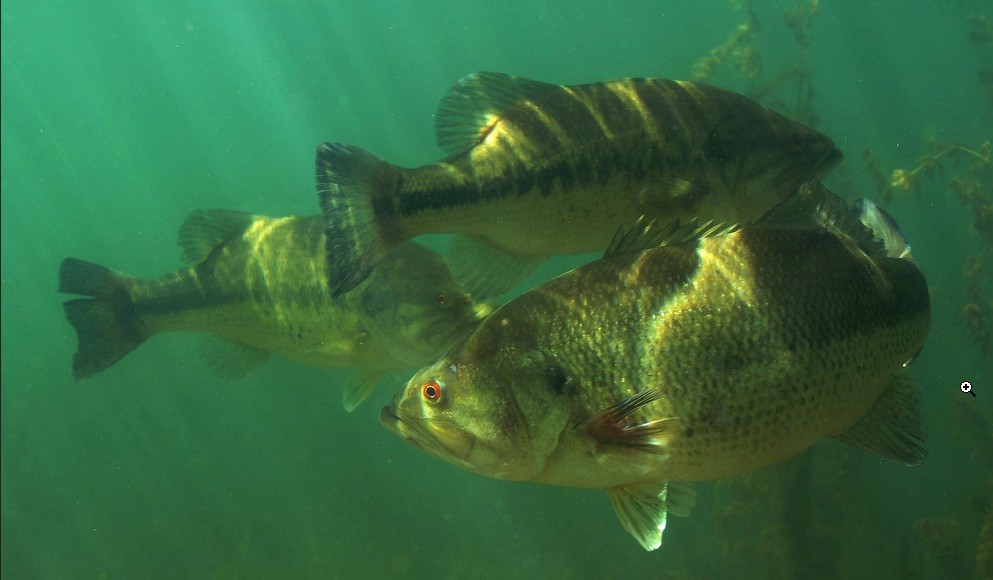 Black bass photo and wallpaper Cute Black bass pictures 993x580