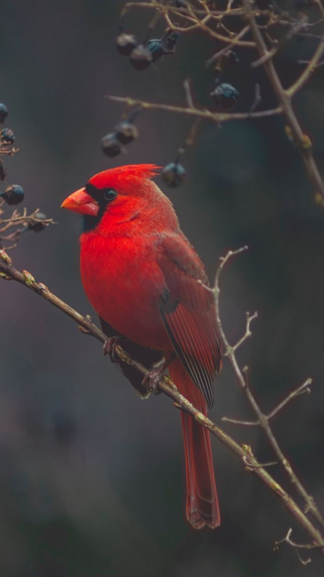 Wallpaper Cardinal Red bird bird 4K Animals 18294 640x1138