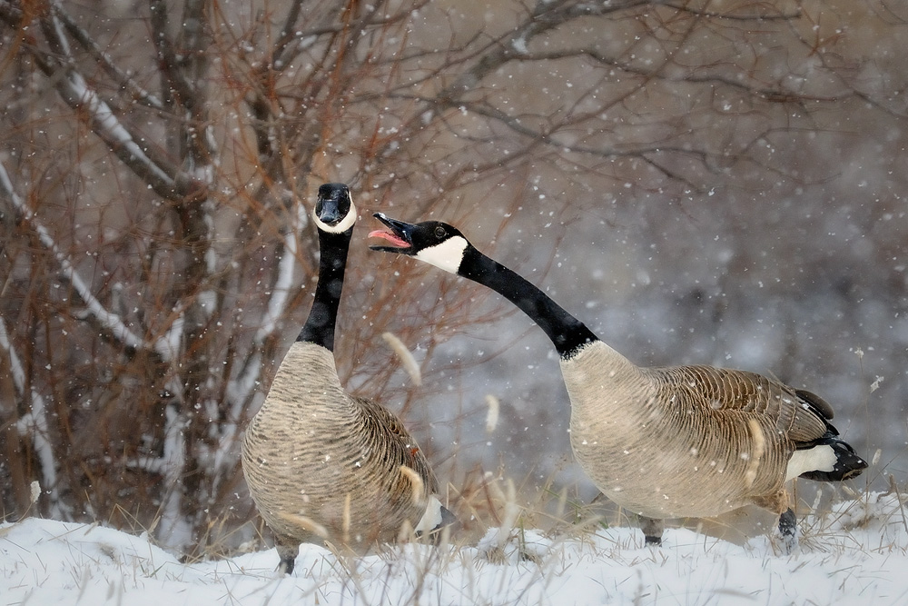 Canada Geese Wallpaper 1000x667