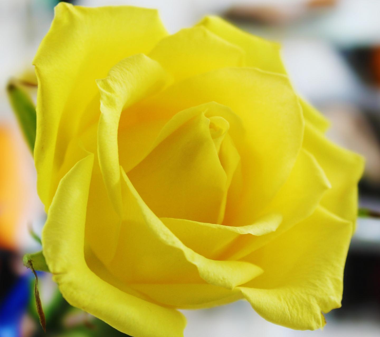 [47+] Yellow Roses Desktop Wallpaper On WallpaperSafari