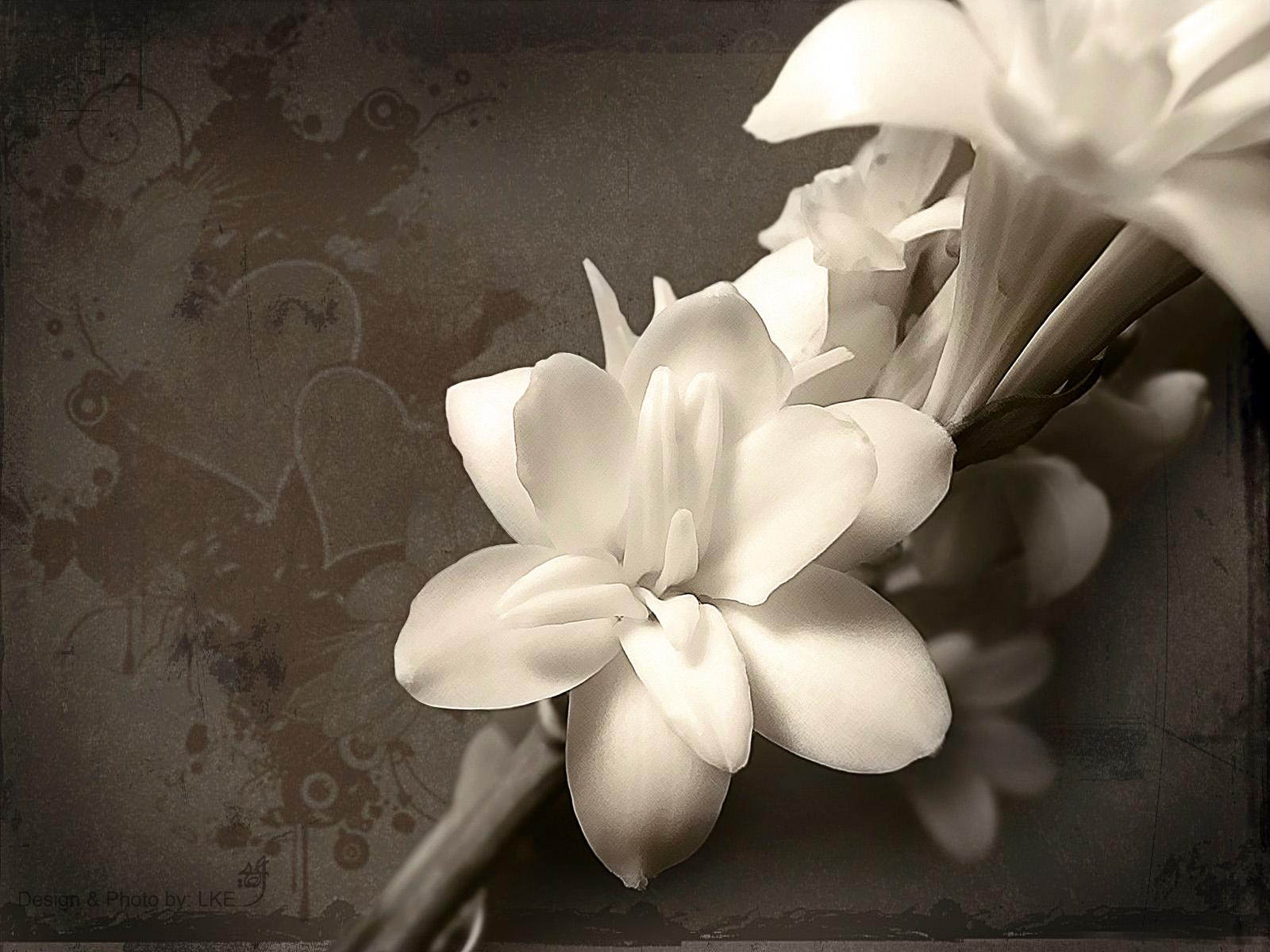 1600x1200px White Flower Wallpaper Wallpapersafari