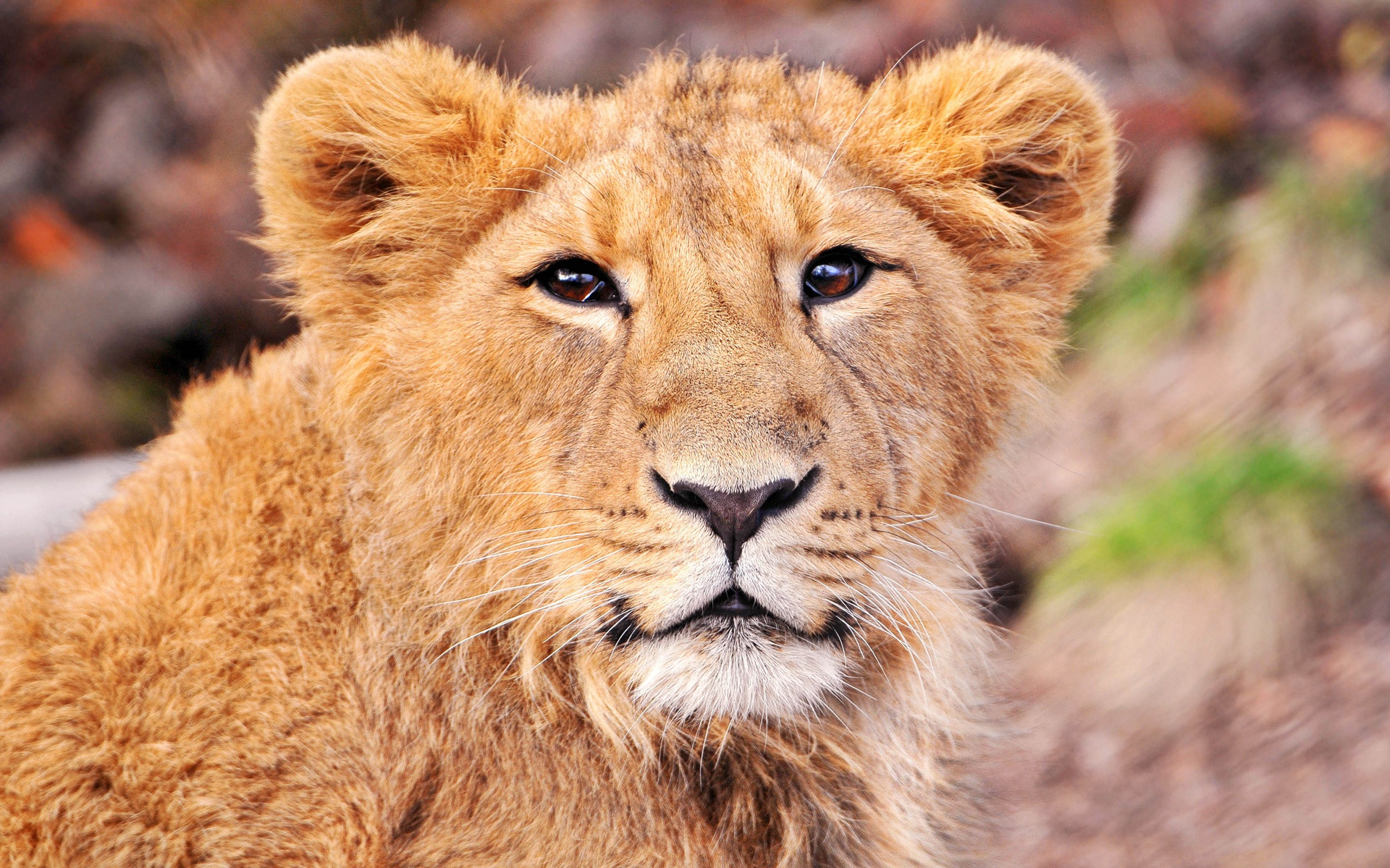 of this cute lion cub 1920x1200 wallpaper download page 990358 1920x1200