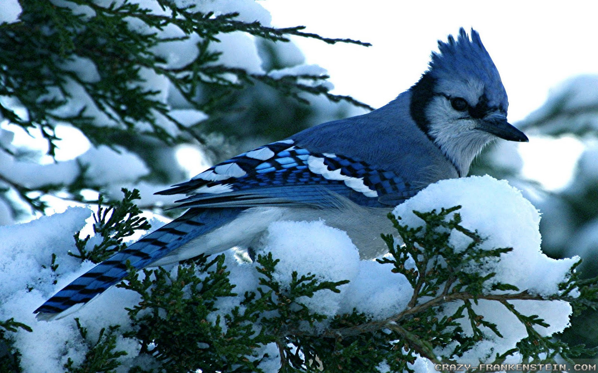 Download Blue Jay Winter Birds Wallpaper Full HD Wallpapers 1920x1200