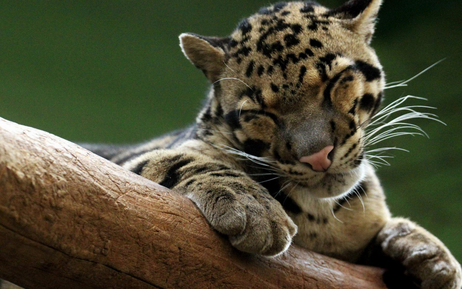 Clouded Leopard Full HD Wallpaper and Background 1920x1200