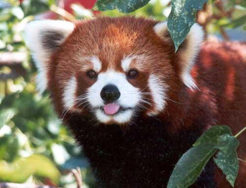 Download Cute Red Panda Wallpaper HD 6399 Full Size 500x381
