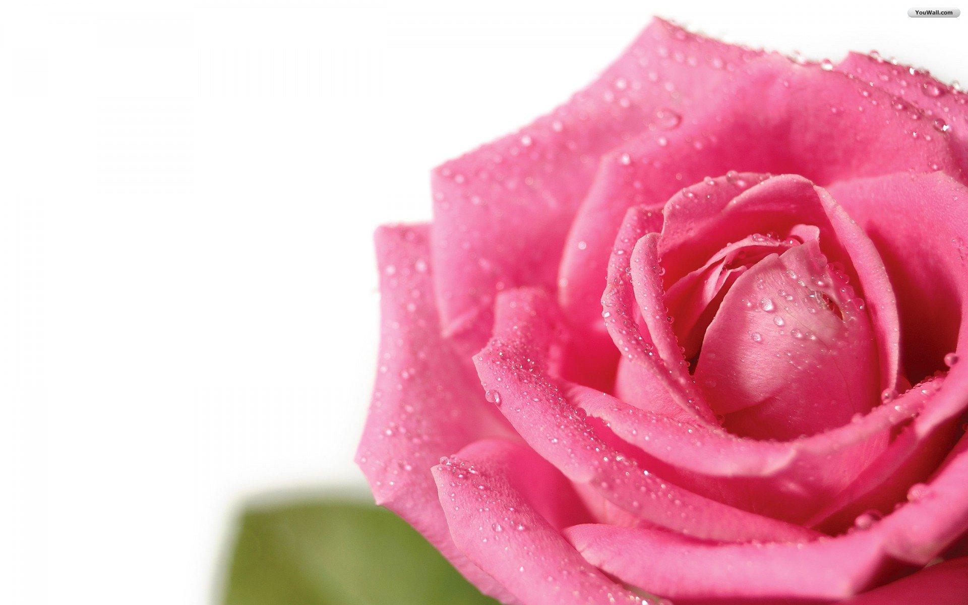 YouWall   Pink Rose Wallpaper   wallpaperwallpapersfree wallpaper 1920x1200