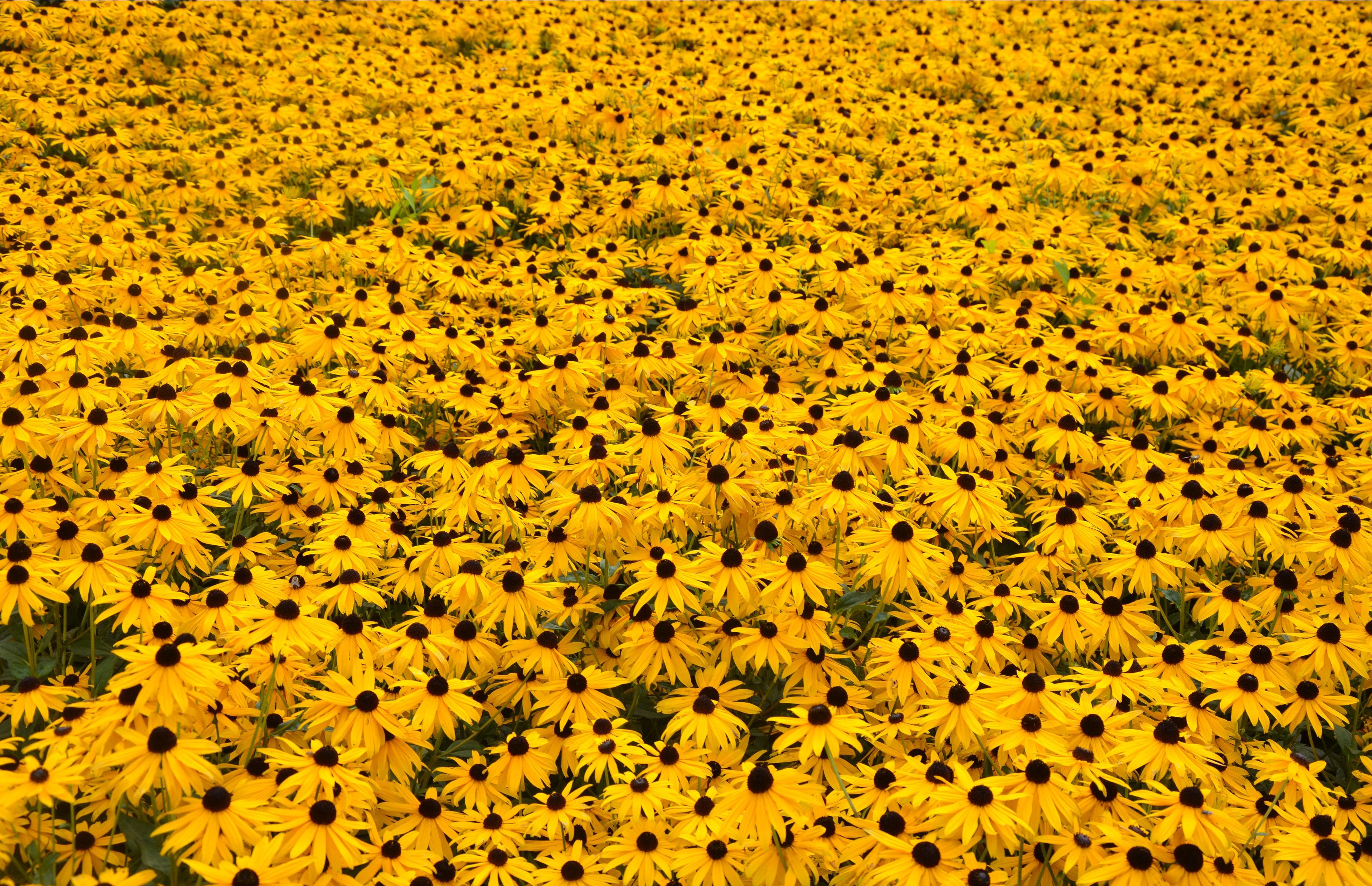 Free Download Yellow Flowers Computer Wallpaper Hufflepuff