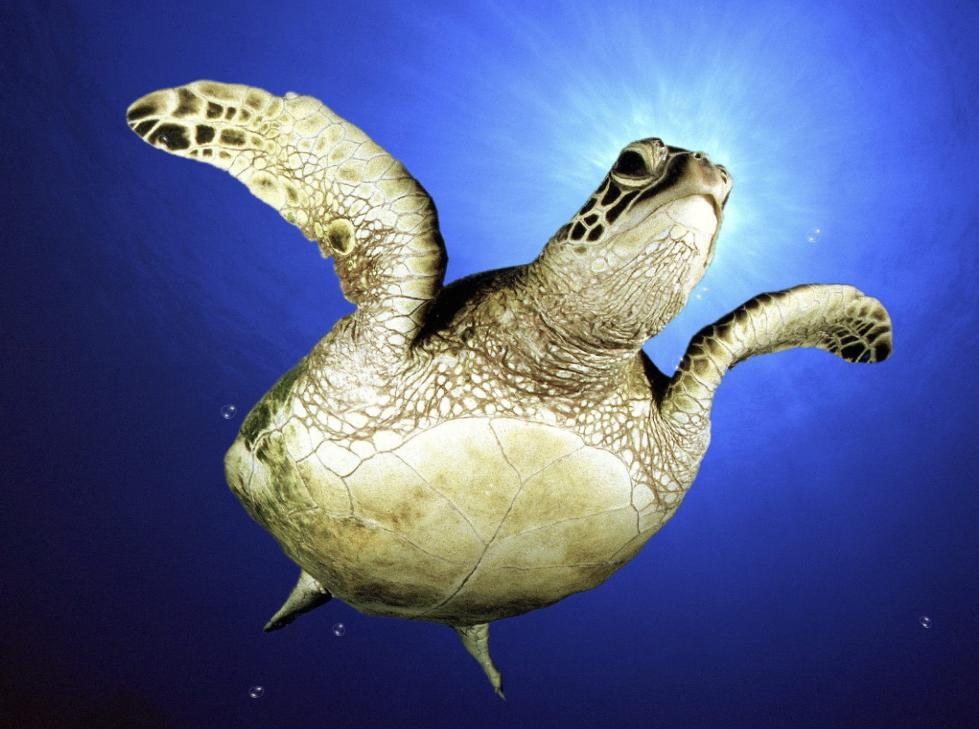 Sea Turtle Screensaver 979x729