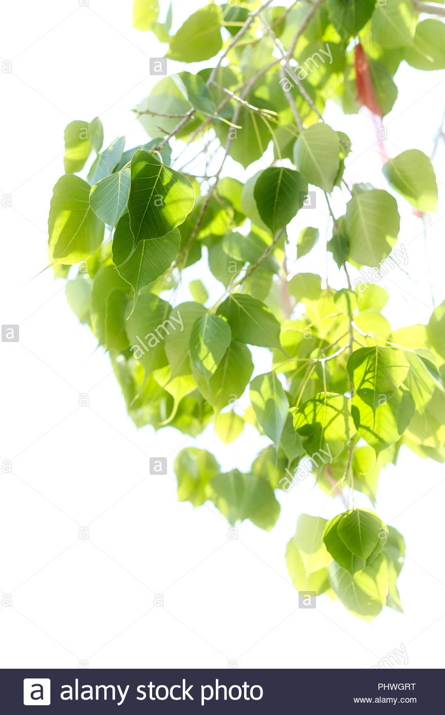 Soft blur background of Bo leaf isolated Stock Photo 217535580 866x1390