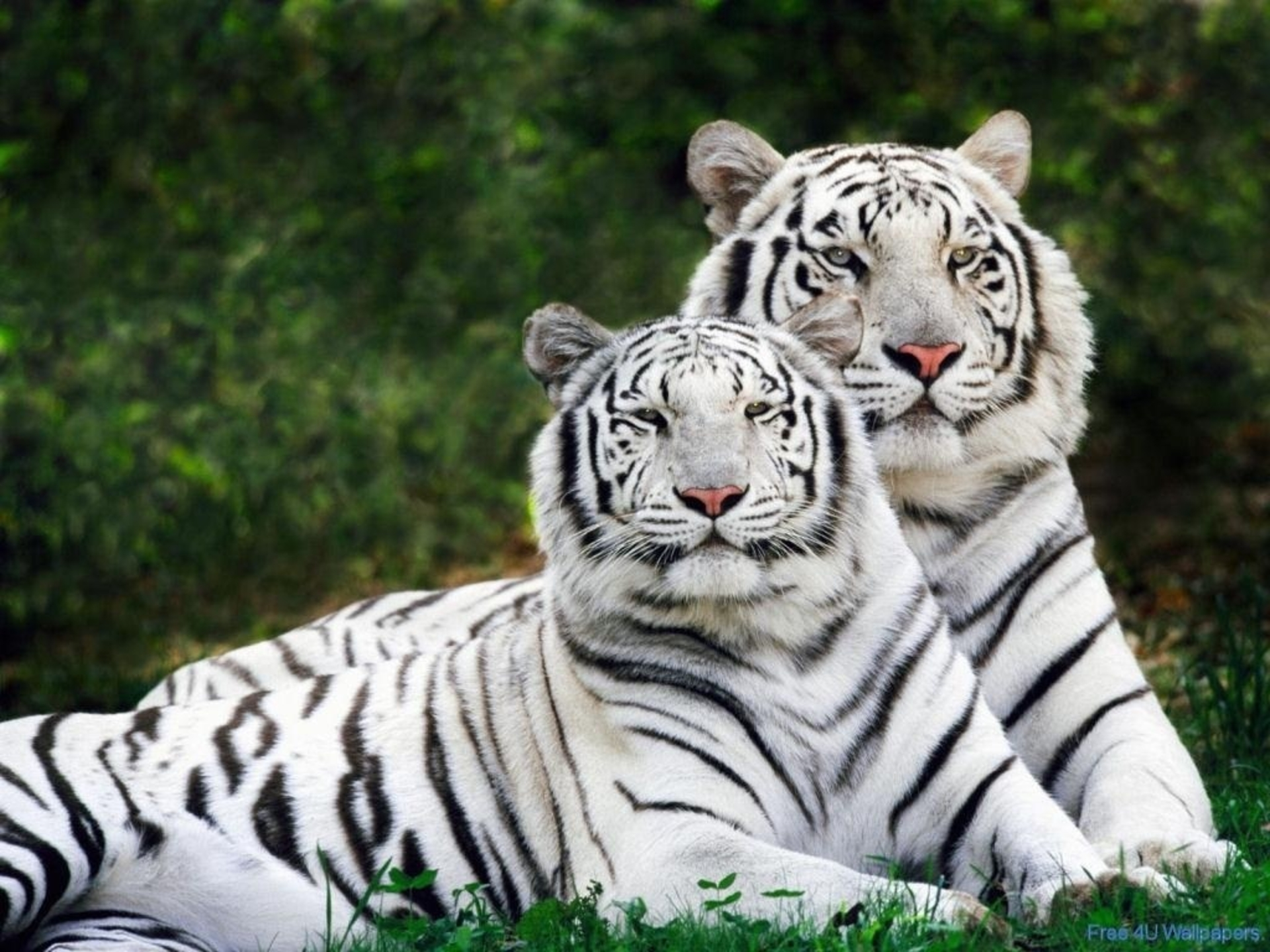 White Tigers Screensavers Resolution 1920x1440 pixelsuper cool 1920x1440