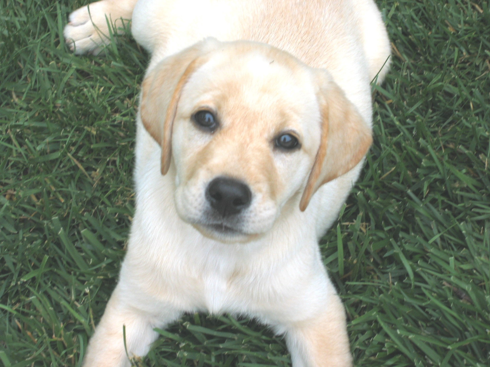 Puppy World Yellow Lab Puppy Pictures 2048x1536