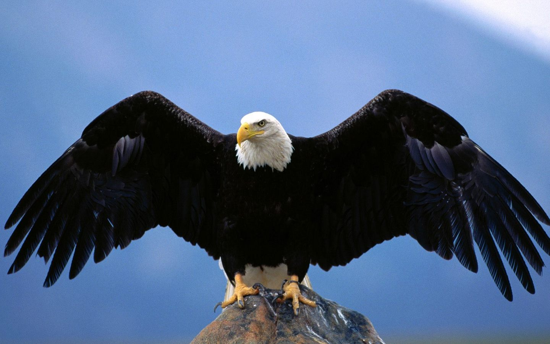 American Bald Eagle Wingspan 1440x900 WIDE Image Animals Wild Life 1440x900