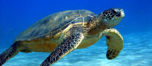 Animated Sea Turtle Wa...