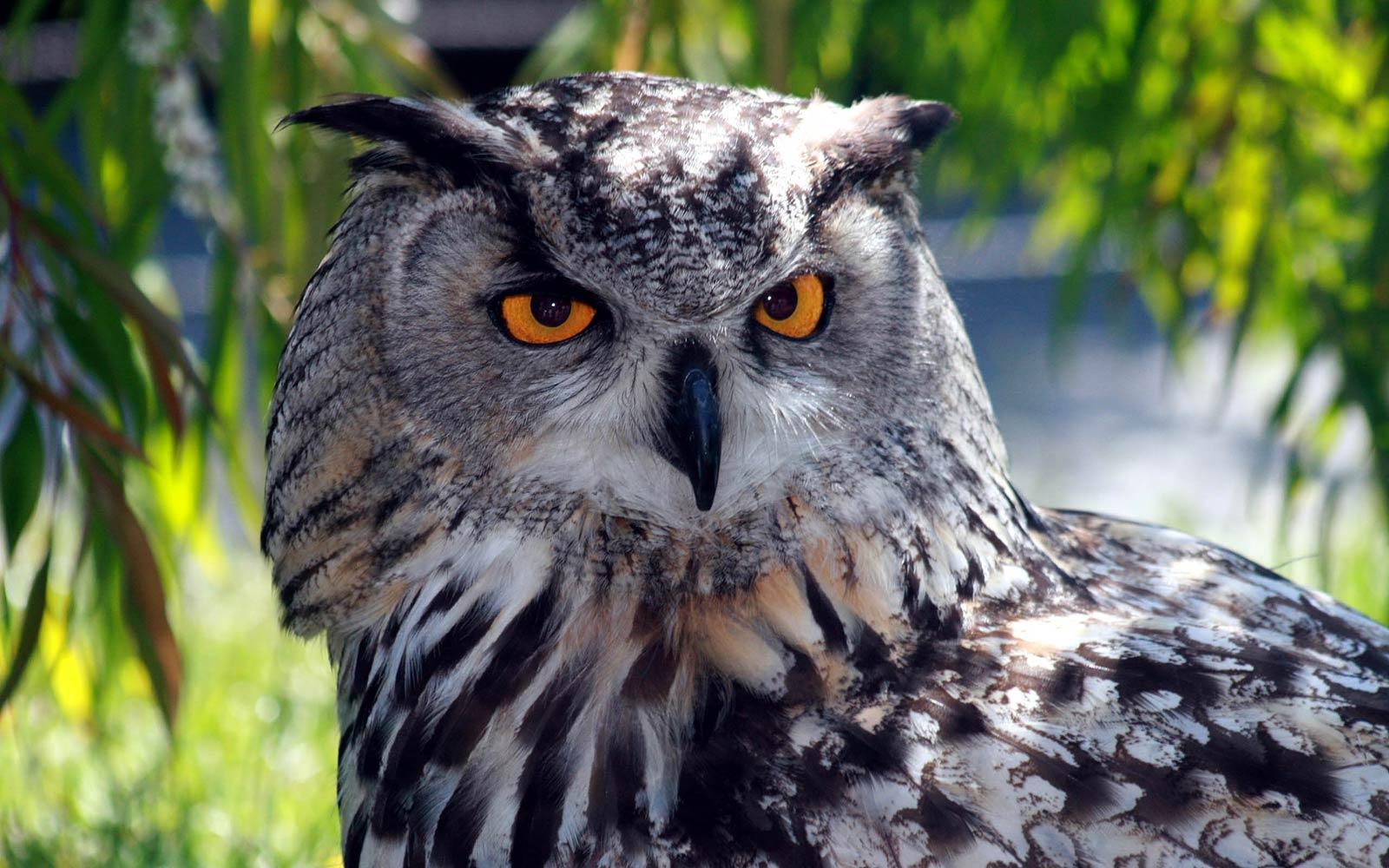 free owl wallpaper backgrounds wallpapersafari