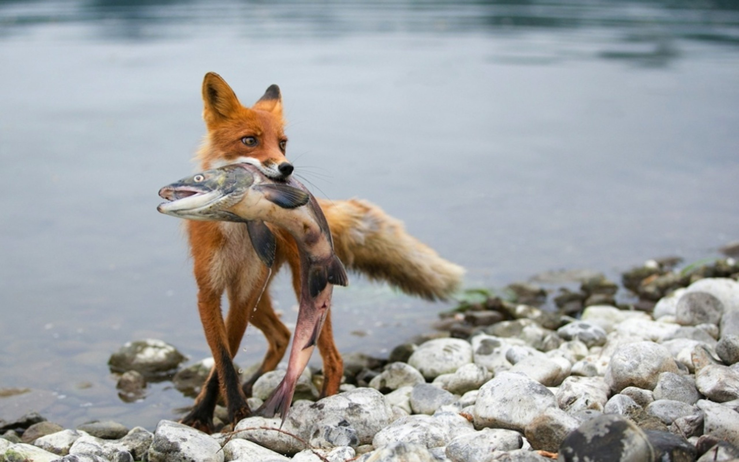 hunting fishing fox wallpaper background 2560x1600