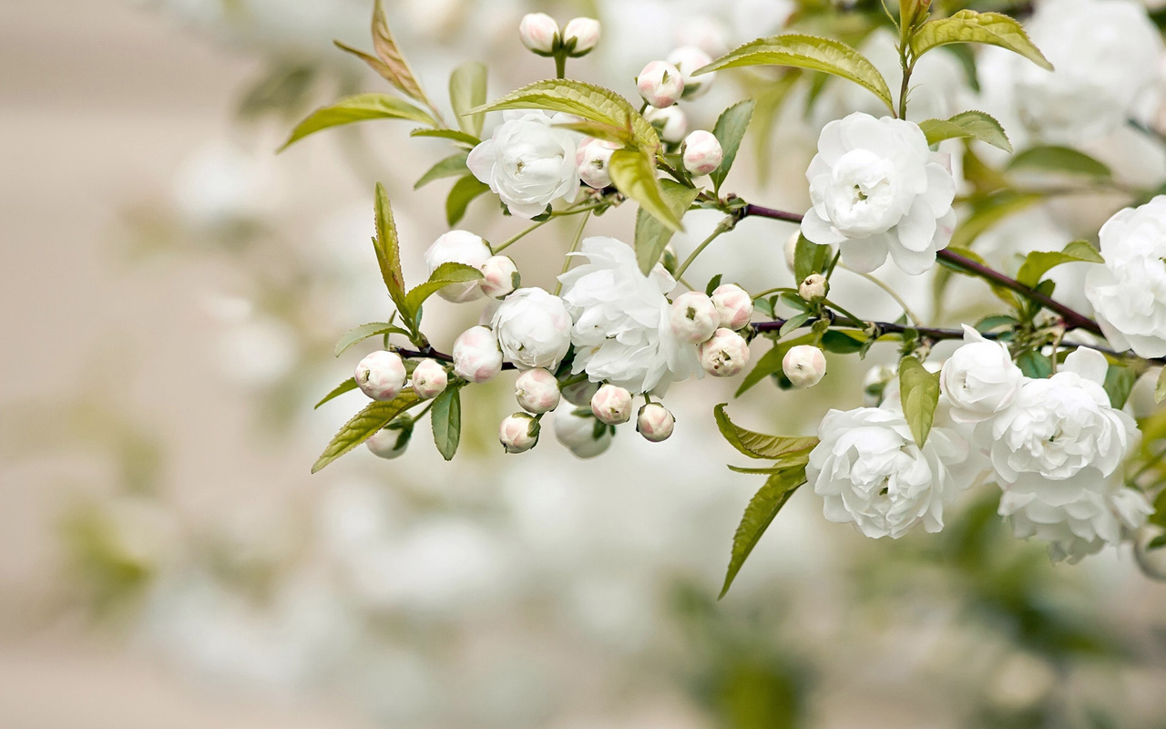 Spring buds white wallpapers HD Wallpaper Downloads 1280x800
