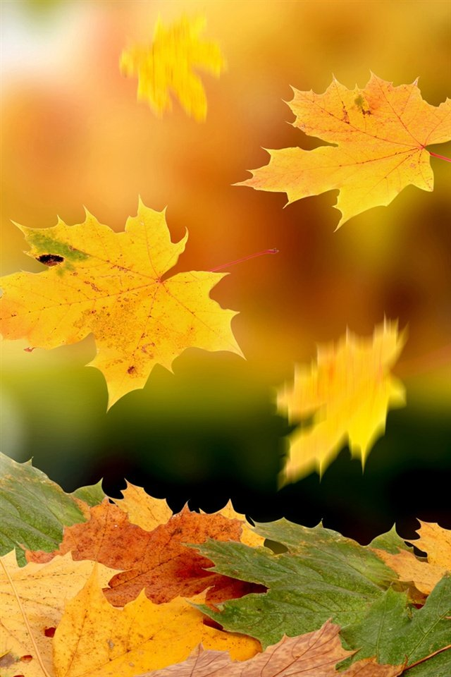 Maple leaves falling in autumn iPhone Wallpaper 640x960 iPhone 4 4S 640x960