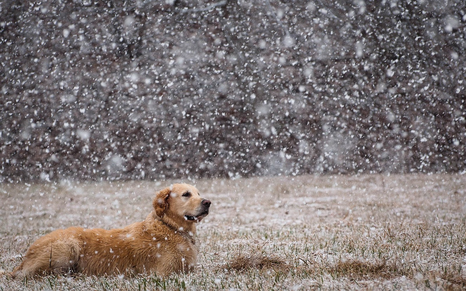 Winter wallpaper with a dog in the snow and it's snowing heavily, it ...
