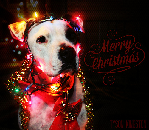 Christmas Pitbull Wallpaper Wallpapersafari