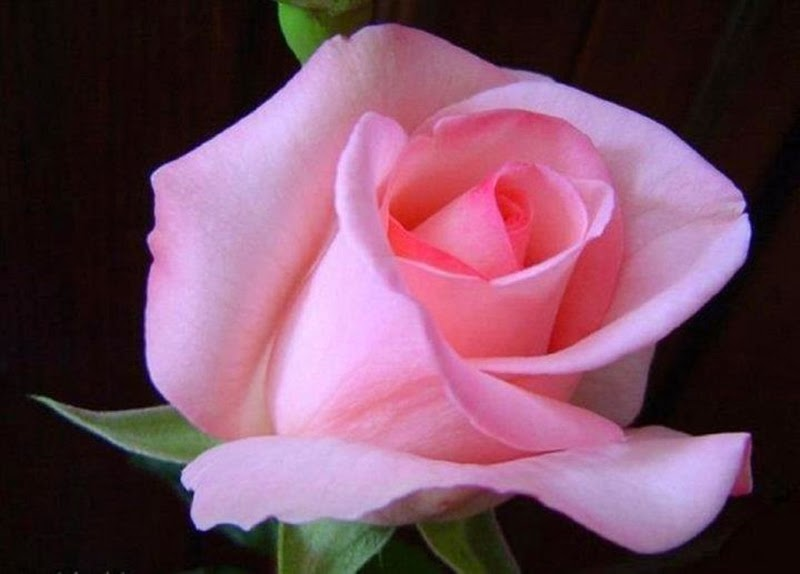 Pink Beauty Flower Single Rose: Most Beautiful Rose Flowers Wallpapers