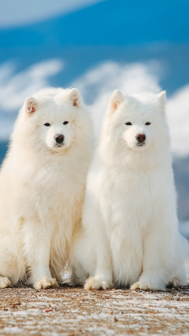Two Samoyed dogs 640x1136 iPhone 55S5CSE wallpaper background 640x1136