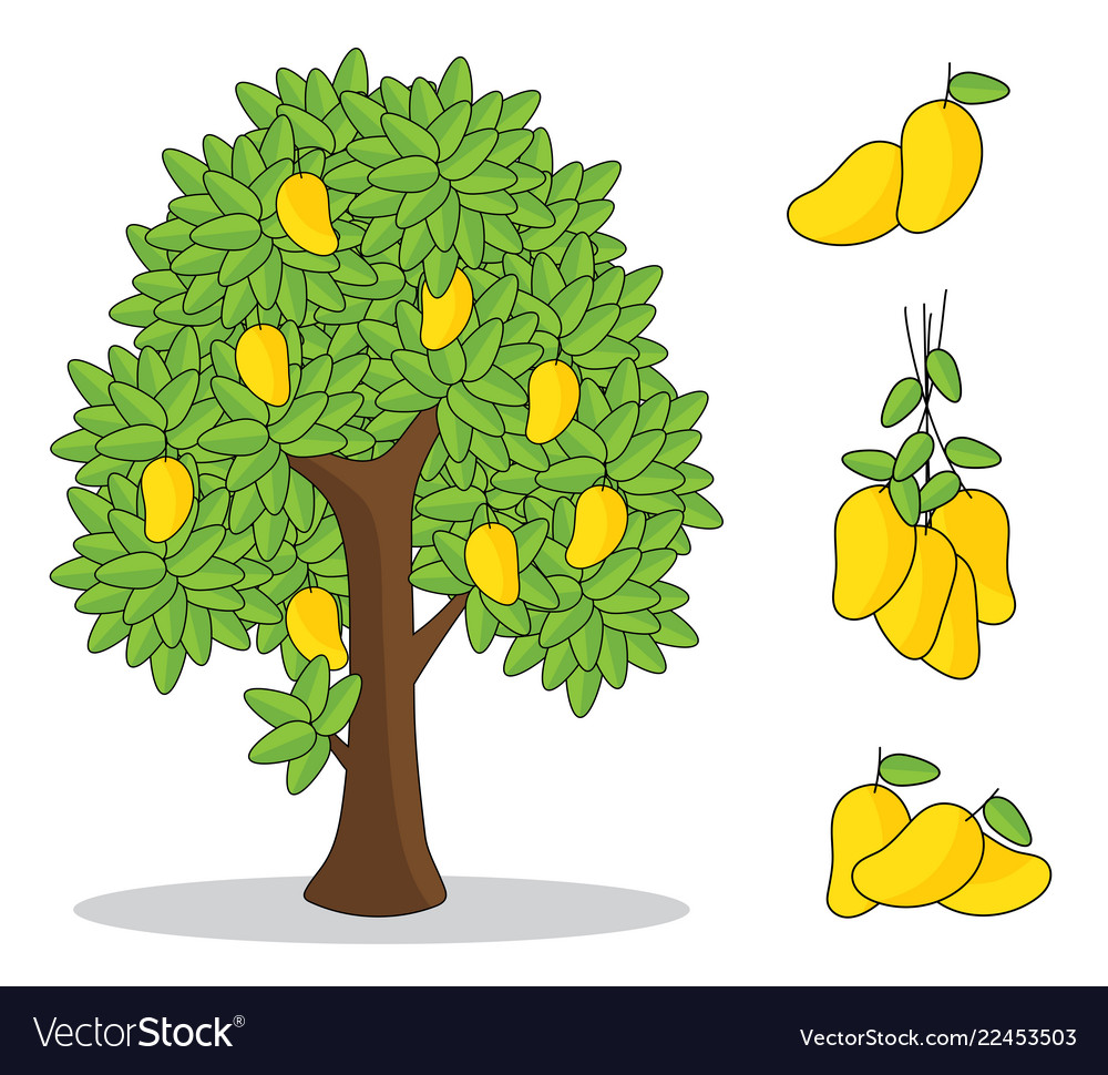 Yellow mango on tree with white background Vector Image 1000x970
