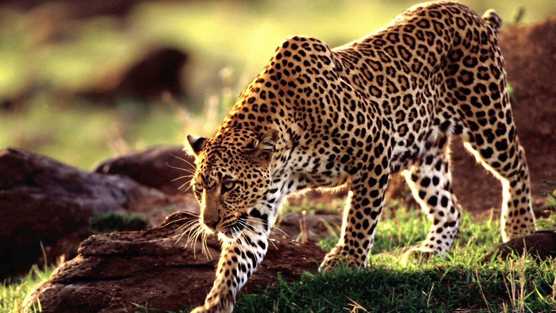 Leopard Wallpaper 1920x1080 WallpapersLeopard 1920x1080 1920x1080