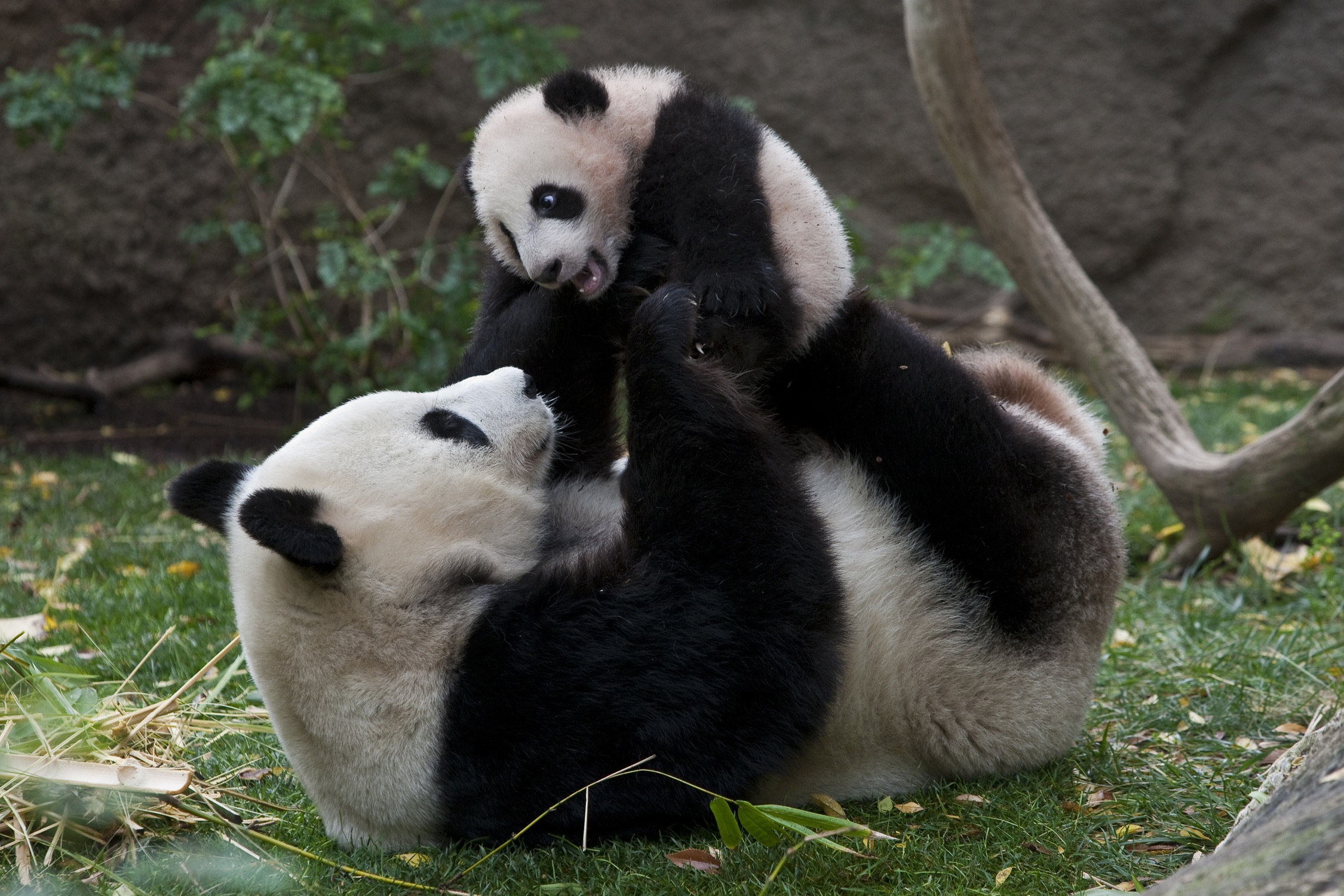 baby panda with mom A Cute A Day 2250x1500