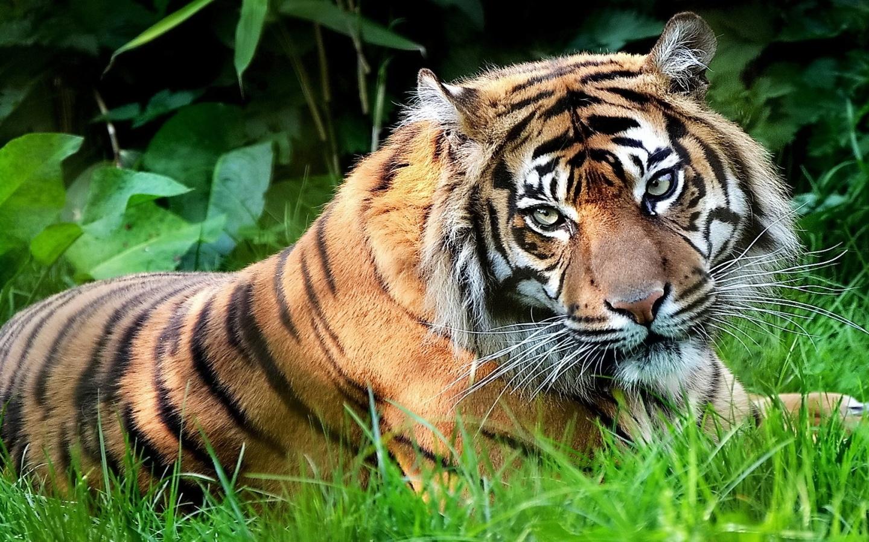 Tiger Wallpaper for Laptops - WallpaperSafari