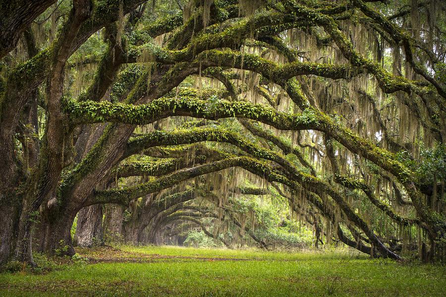 Charleston Sc Photograph   Avenue Of Oaks   Charleston Sc Plantation 900x600