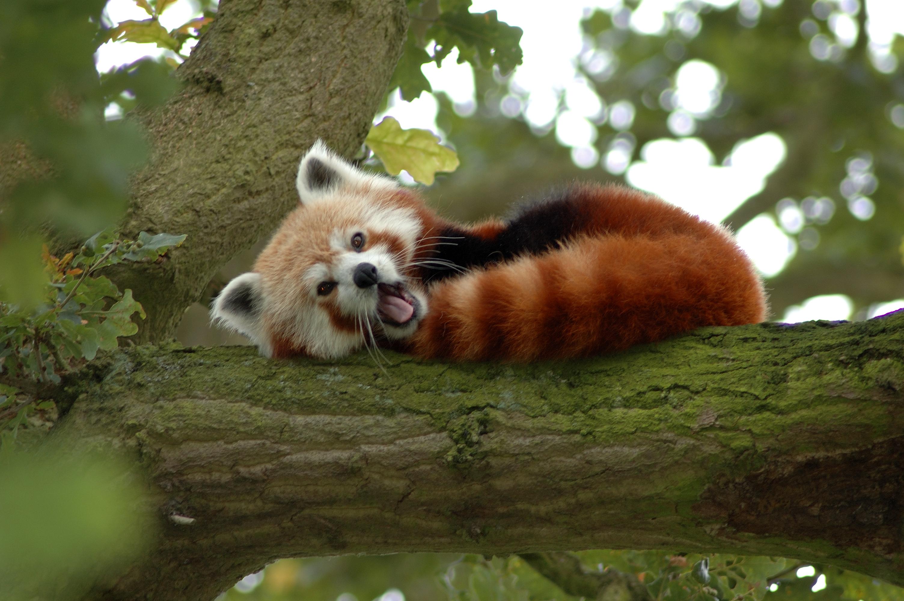 Description Red Panda in a Tree Y A W N I N Gjpg 3008x2000