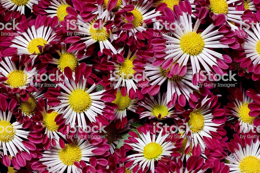 Red White Mums Background Stock Photo More Pictures of Abstract 1024x683