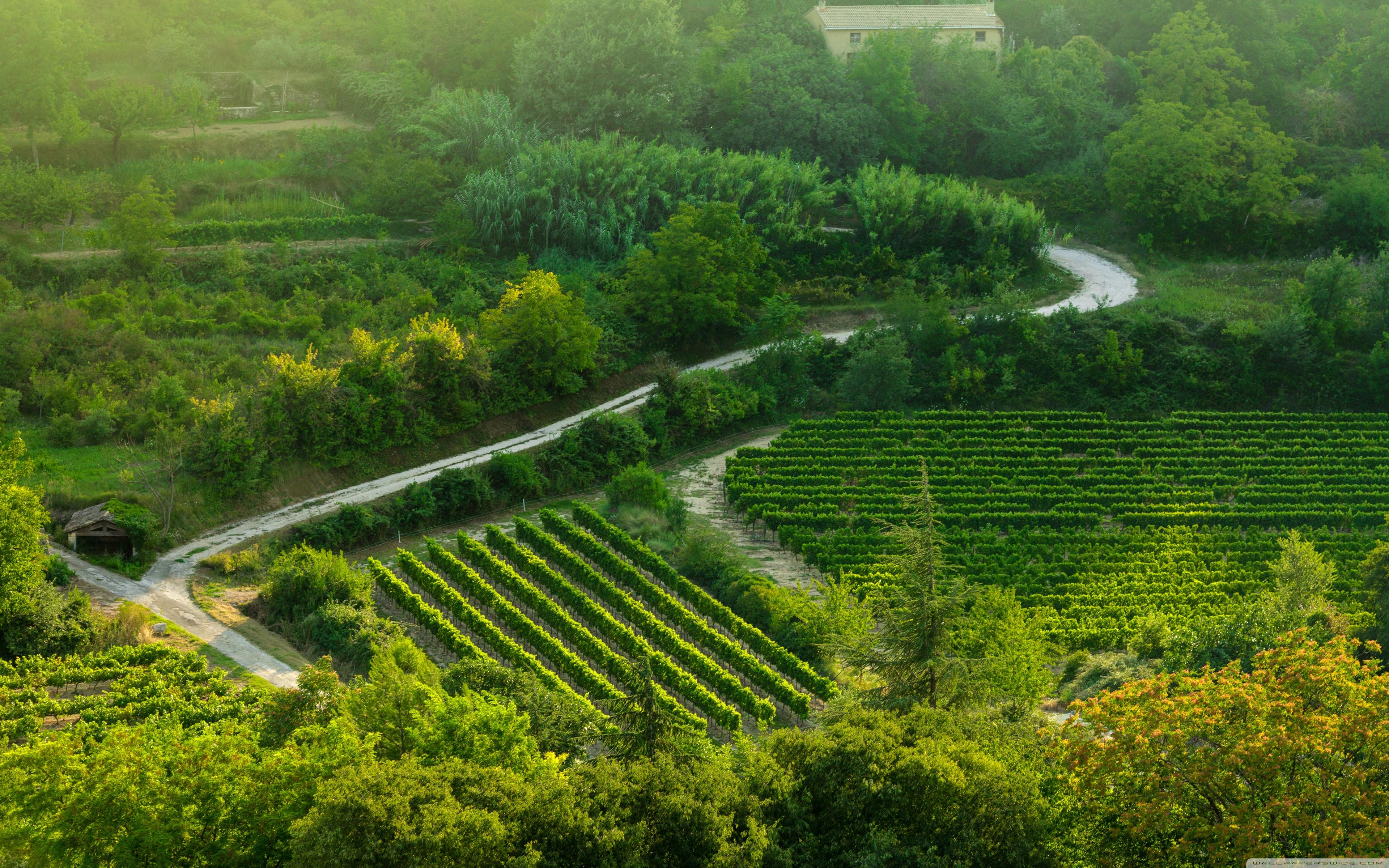 Grape Fields Provence 4K HD Desktop Wallpaper for 4K Ultra HD 3840x2400