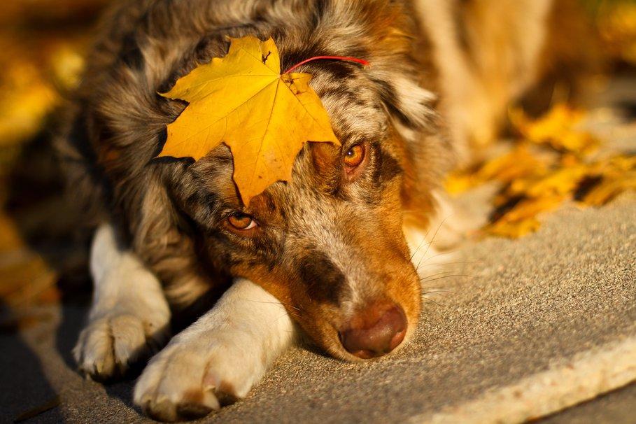 fall Dog wallpaper   ForWallpapercom 909x606