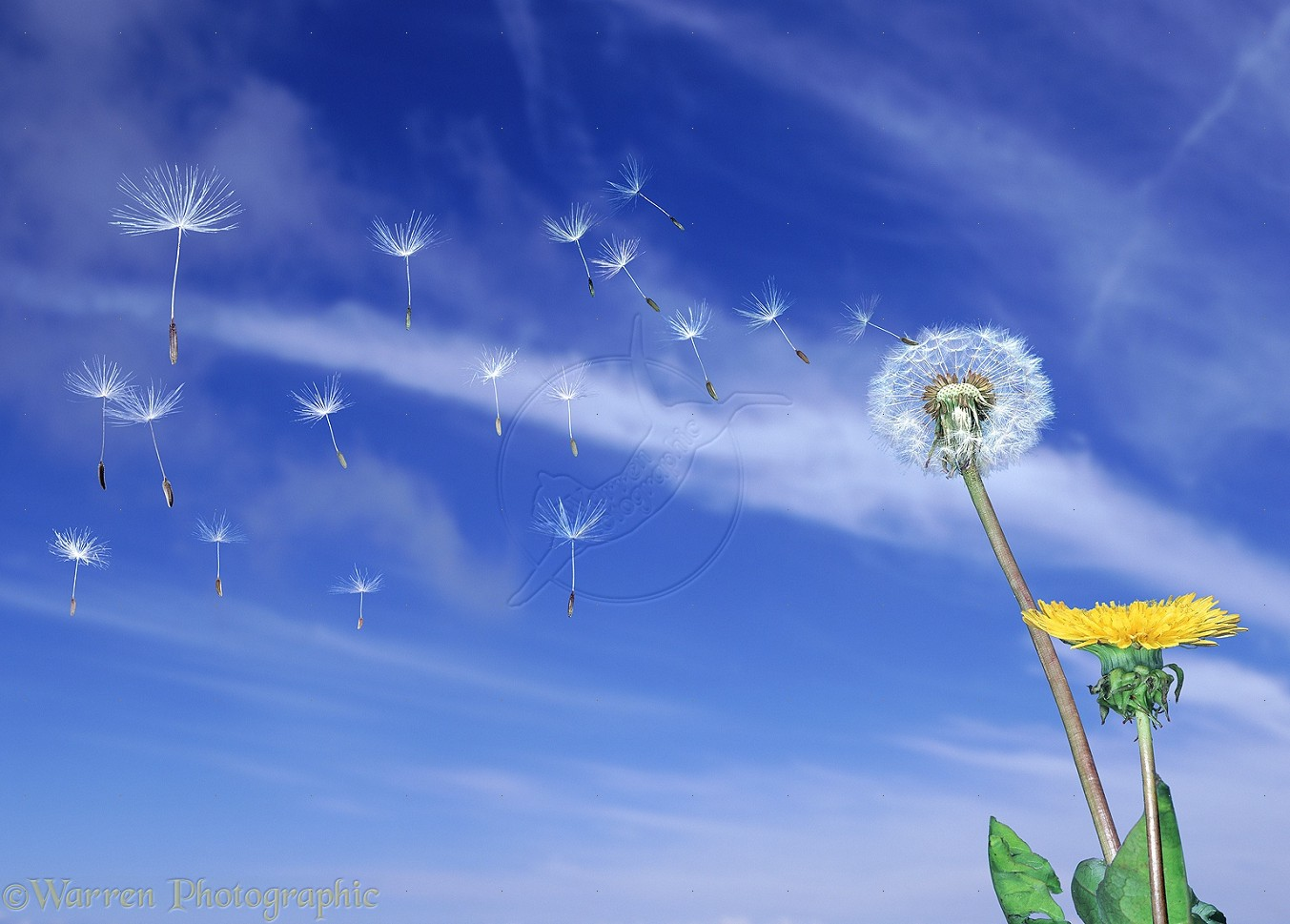 Dandelion With Seeds Blowing Off - 1353x969 iWallHD - Wallpaper HD