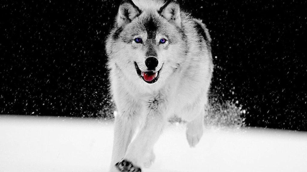 masawtfdeviantartcomartGray wolf wallpaper 12061 hd 424834566 1024x576
