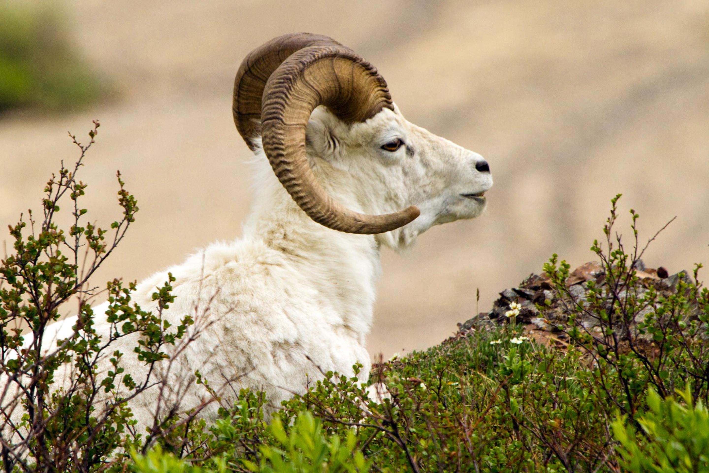 Best 58 Mouflon Wallpaper on HipWallpaper Mouflon Wallpaper 2880x1920