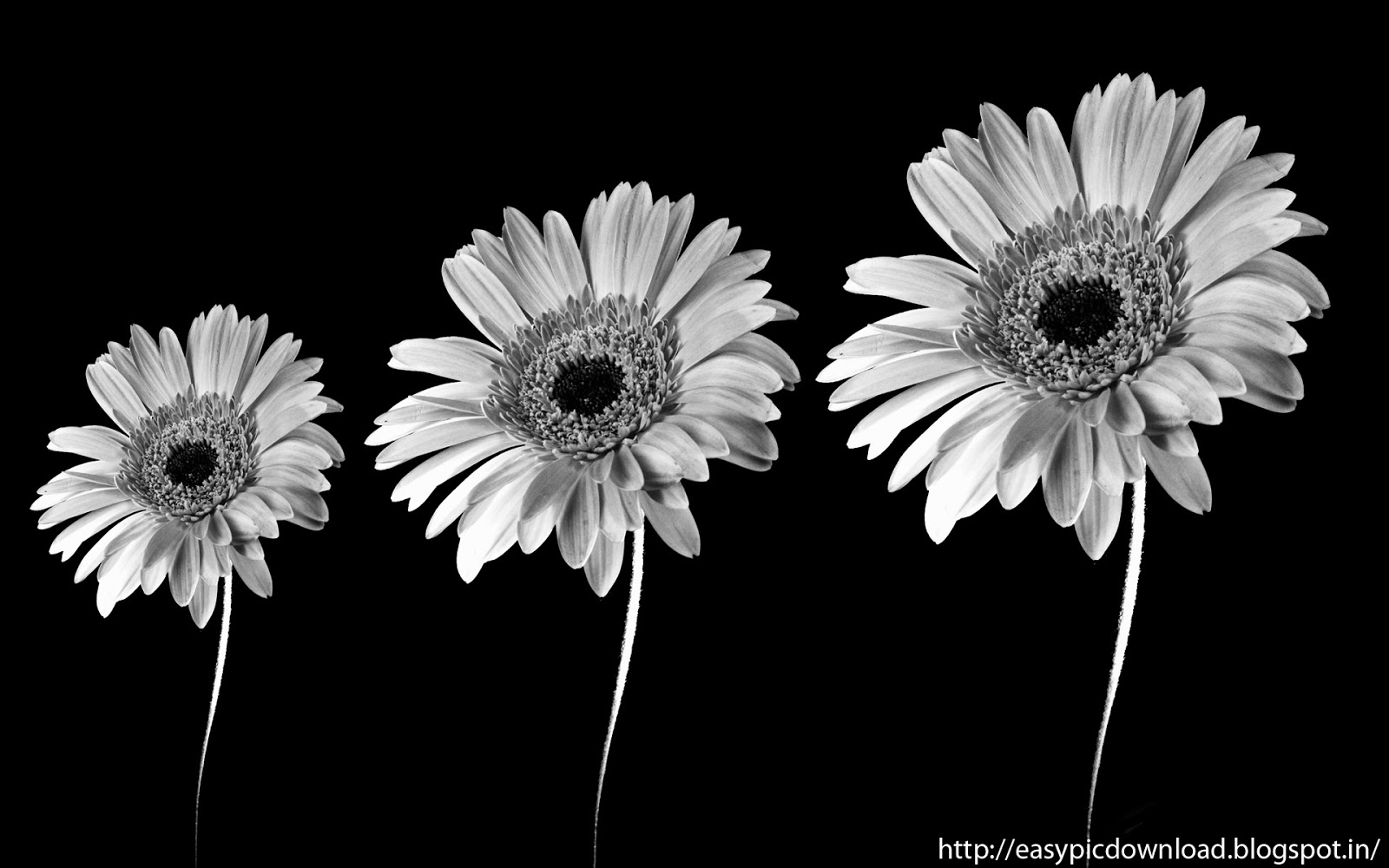 Black And White Sun Flower Wallpaper   Easy Pic Download 1600x1000
