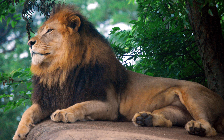 Best 25 Lion Hd Wallpaper Ideas On Pinterest: Lion 1080p Wallpaper