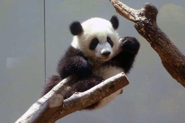 Cute Baby Panda Pictures   Funny Photos Funny mages Gallery 600x400