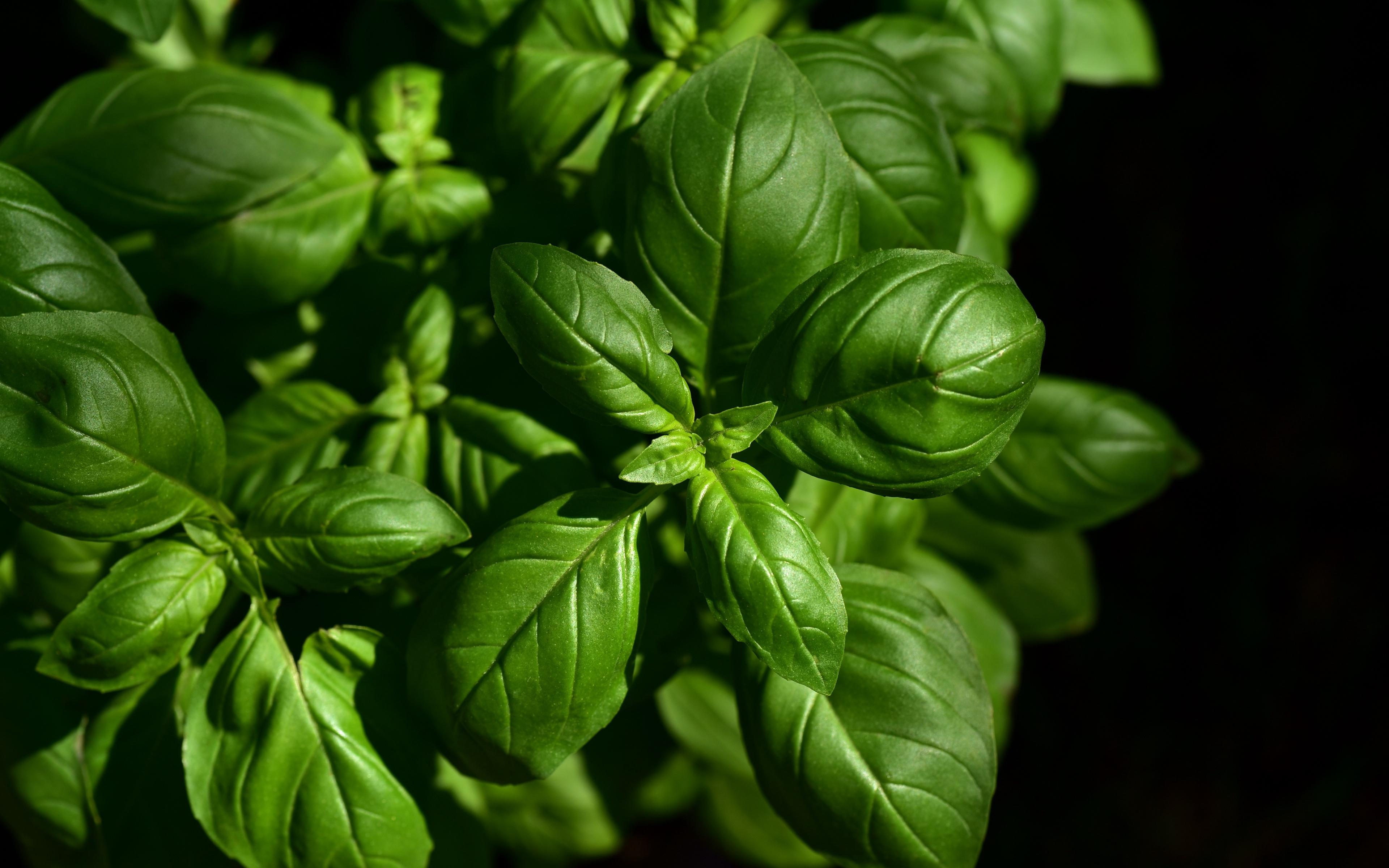 Download wallpaper 3840x2400 basil leaves green plant 4k ultra 3840x2400