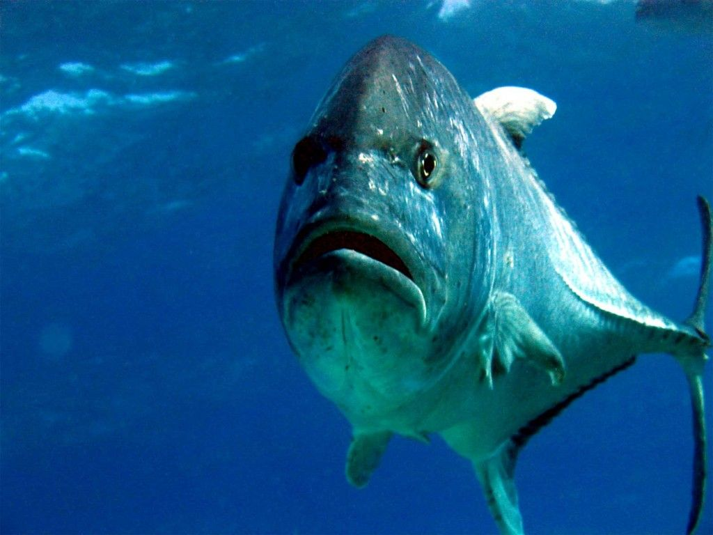 Giant Trevally Ulua Hawaiian Fish Fish Sea fish Ocean creatures 1024x768